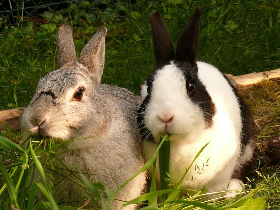 królikami, królik, złodziej, staszów