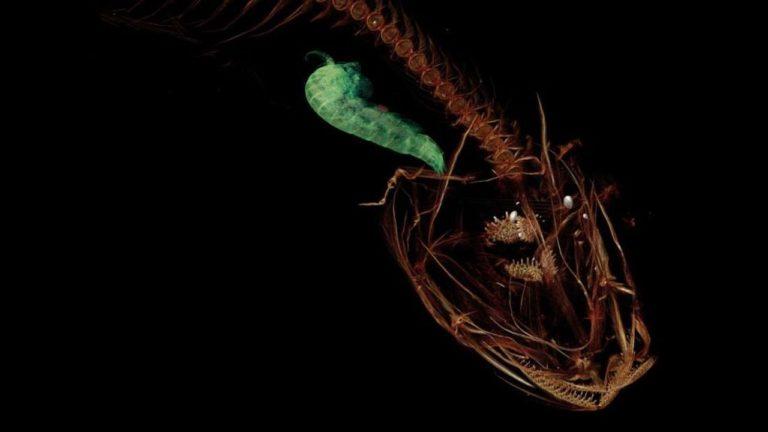 Ten POTWÓR to najgłębiej żyjąca ryba na świecie! Wygląda PASKUDNIE, ale wspaniale radzi sobie na niewyobrażalnej głębokości! [FOTO&VIDEO]