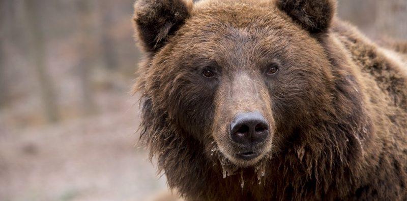 niedźwiedzia, niedźwiedź, niedźwiedzica, atak, bieszczady, turysta, góry