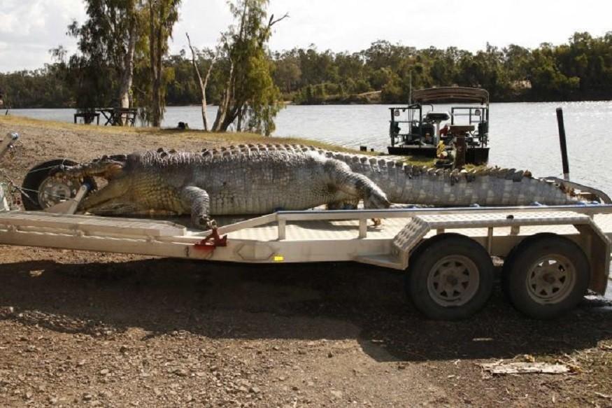 krokodyl, krokodyla, australia