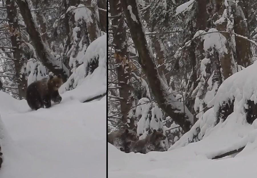 spotkanie z trzema niedźwiedziami, bieszczady, góry, las, zima