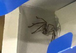 pasażer na gapę, pająk, samolot australia