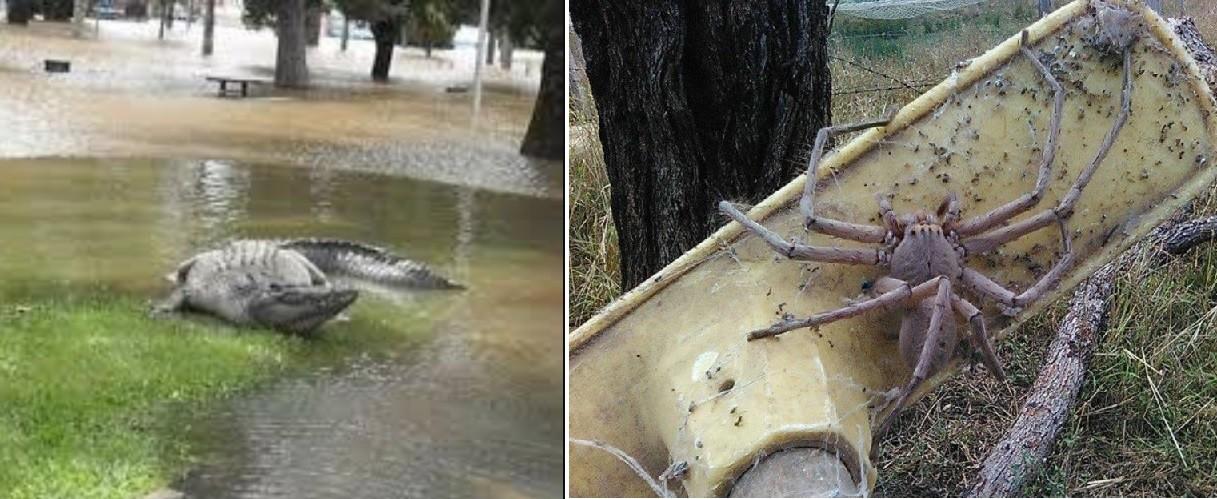 powodzi, skutki, australia, krokodyl, pająk
