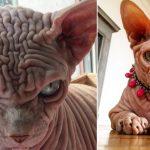 To nie kosmita, to kot! Wyjątkowe zwierzę ma tysiące fanów, a oto sekret jego wyglądu [FOTO]