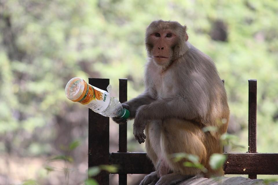 małpa, małpę, niemowlę