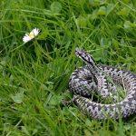 W polskich lasach zaroiło się od węży. Uważajcie na spacerach!