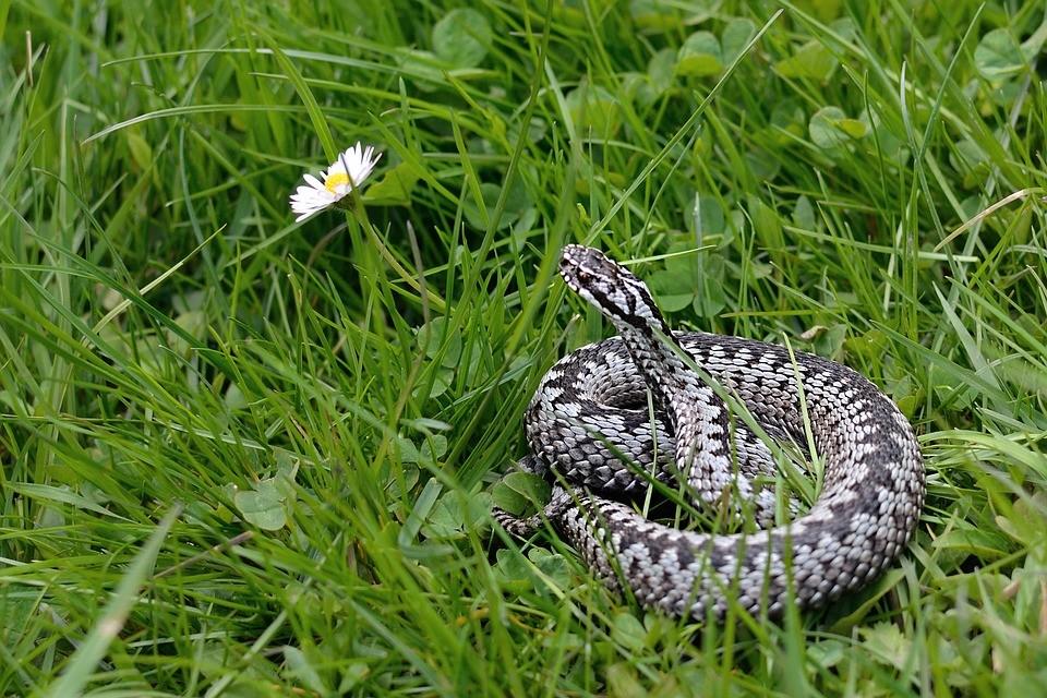 żmija, żmije, węże, wąż