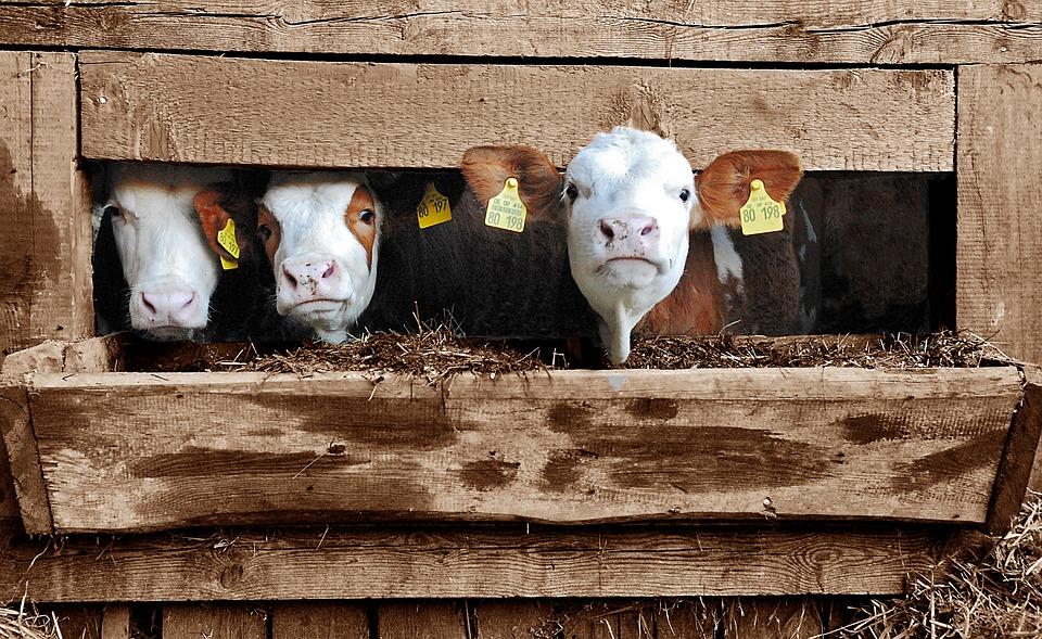 zgwałcił 11 krów, krowy