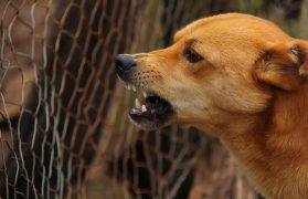 pies rzucił się, psy, wataha, dzikie, psów