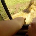Turysta pogłaskał lwa. Takiej reakcji wielkiego drapieżnika się nie spodziewał! [VIDEO]