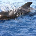 Przeżyli SZOK, gdy rozpruli brzuch martwego wieloryba. Oto, co znaleźli w środku! [FOTO]