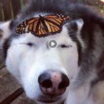 Husky z motylem na nosie – nie uwierzysz co zrobił! To wideo to HIT INTERNETU