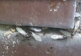 latające mrówki