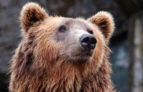 niedźwiedź, wybieg z niedźwiedziami