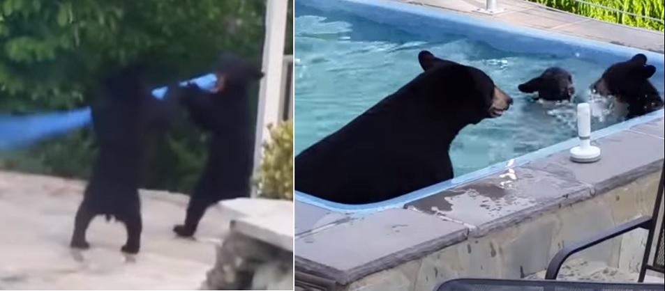niedźwiedzica z młodymi na basenie