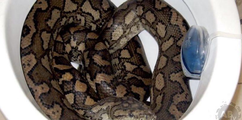 pyton, wąż
