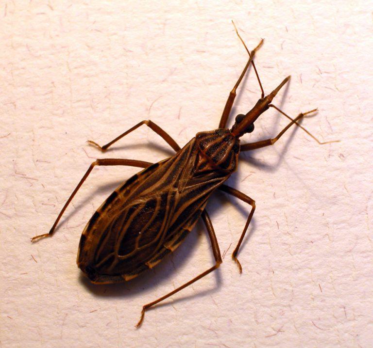 """""""Pocałunek"""" tego robaka może zabić. Podstępna choroba dotarła do Europy!"""