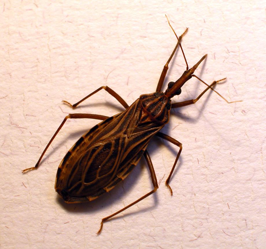 pocałunek robaka wywołuje poważną chorobę
