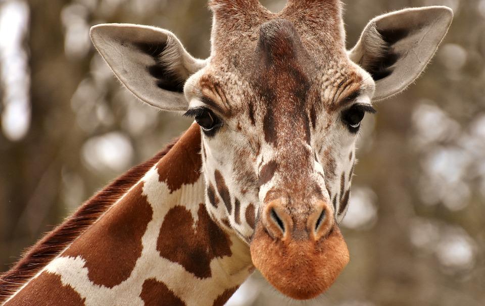 walczą o życie po spotkaniu ze żyrafą