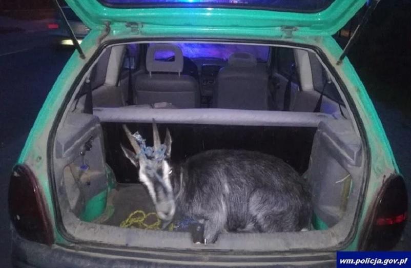 znaleźli kozę w bagażniku