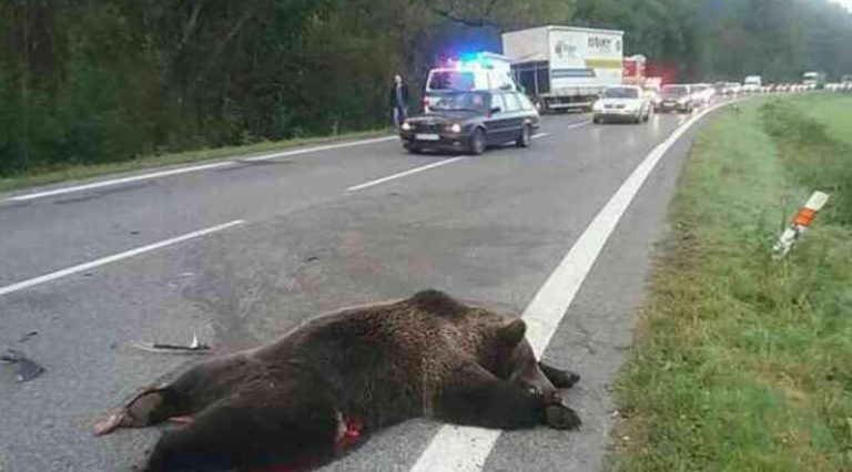 Niżne Tatry: Niedźwiedź wbiegł przed osobówkę. Skończyło się tragicznym wypadkiem!