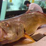 Oto prawdziwa złota rybka – każdy kto ją złowi zostanie milionerem! Zobacz dlaczego