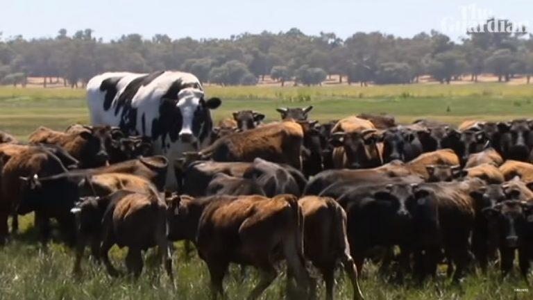 Ta krowa ma wzrost siatkarza i wagę samochodu. Nie skończyła w rzeźni bo…