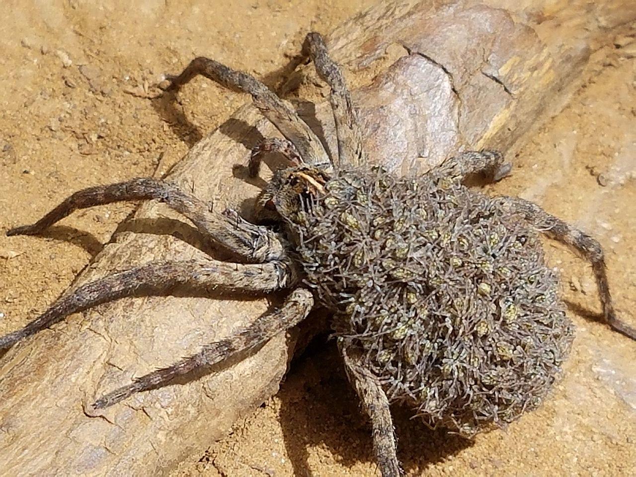 pająka palnikiem