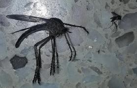 komara