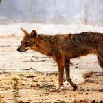 USA: Kojot zaatakował dziecko! Ojciec GOŁYMI RĘKAMI…