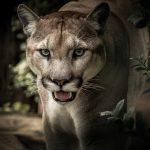 Puma próbowała rozszarpać 3-letniego chłopca! Jego ojciec zareagował (…)!