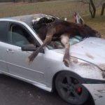 Saab zderzył się z ŁOSIEM! Dźwigiem wyciągali zwierzę z…