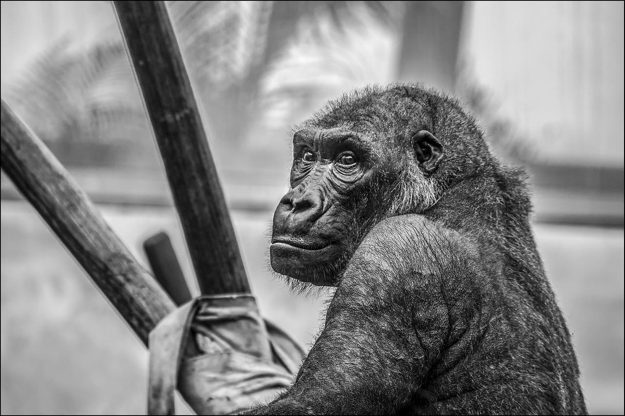 przedrzeźniała goryla