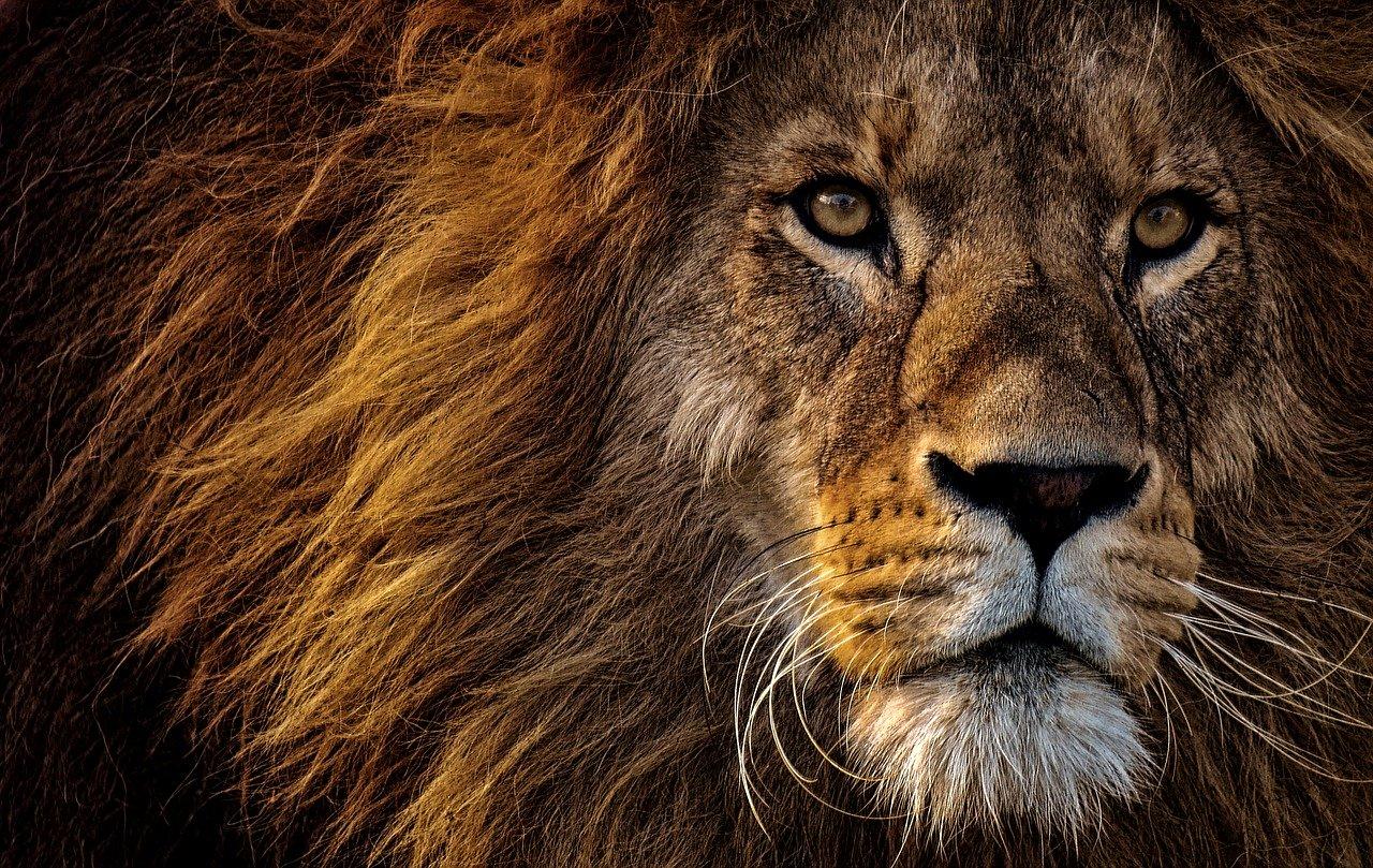 lwy zaatakowały