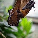 Dlaczego to NIETOPERZE przenoszą najgroźniejsze wirusy świata? Naukowcy poznali ich tajemnicę