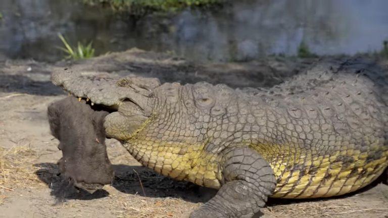 Co za historia! Złamał kwarantannę i … zjadł go krokodyl