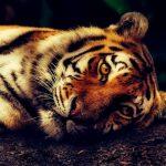 Tygrys z zoo w Nowym Jorku zakażony koronawirusem! Drapieżnik zaraził się od (…)!