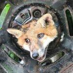 CIEKAWSKI lis zapłacił wysoką cenę! Nie pomogła nawet…