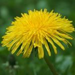 Mniszek lekarski czy MLECZ? Oto jak rozróżnić te dwa kwiaty – wystarczy jeden szczegół