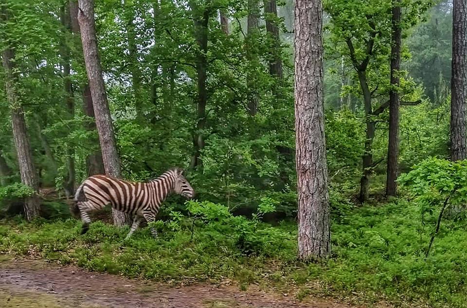 zebra w lesie