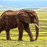 Przerażająca śmierć ciężarnej słonicy. Ktoś dał jej do zjedzenia owoce wypełnione (…)!