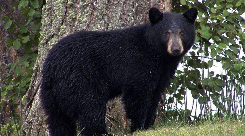 niedźwiedzia