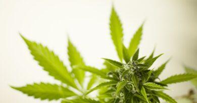 Marihuana będzie LEGALNA?! Jest pakiet ustaw!